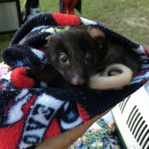 Western Ringtail Possums translocations to Perup