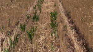 Reducing the cost of perennial pastures