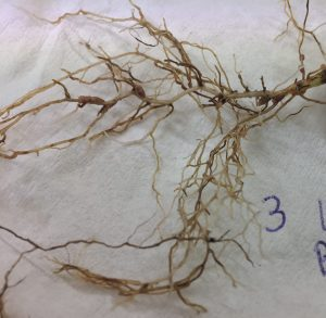 Sub clover root rot affecting productivity in the South West's high rainfall zone